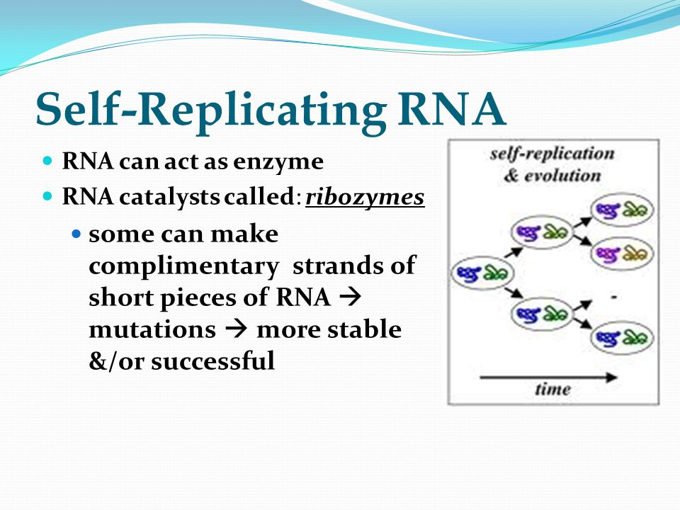 Self-Replicating RNA RNA can act as enzyme. RNA catalysts called: ribozymes.