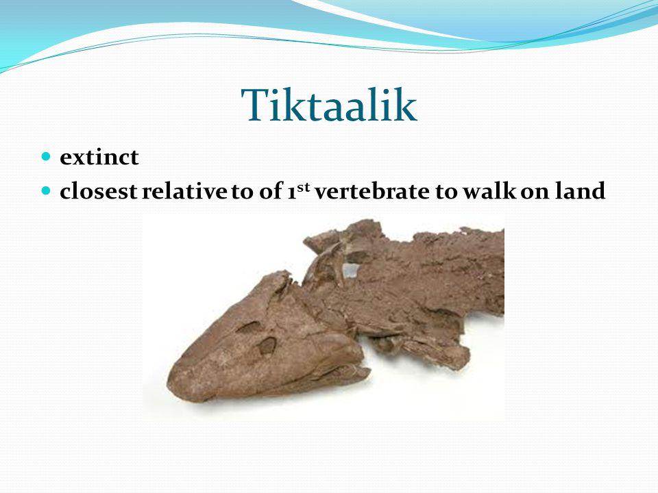 Tiktaalik extinct closest relative to of 1st vertebrate to walk on land