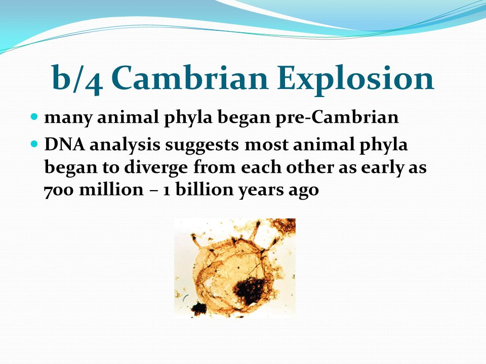 b/4 Cambrian Explosion many animal phyla began pre-Cambrian