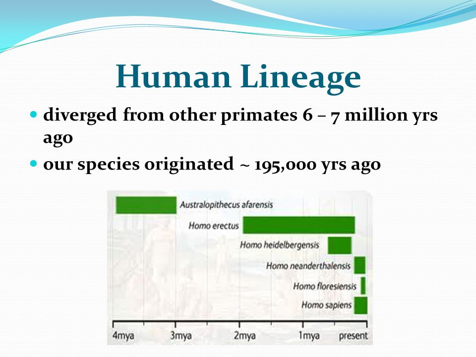 Human Lineage diverged from other primates 6 – 7 million yrs ago