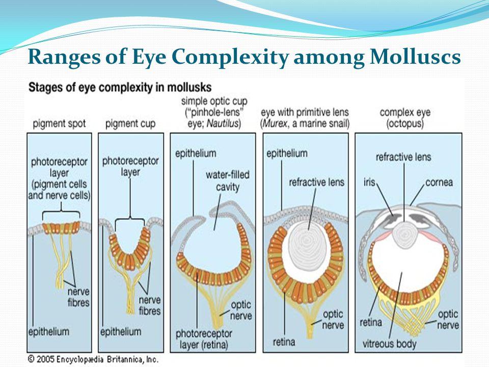 Ranges of Eye Complexity among Molluscs