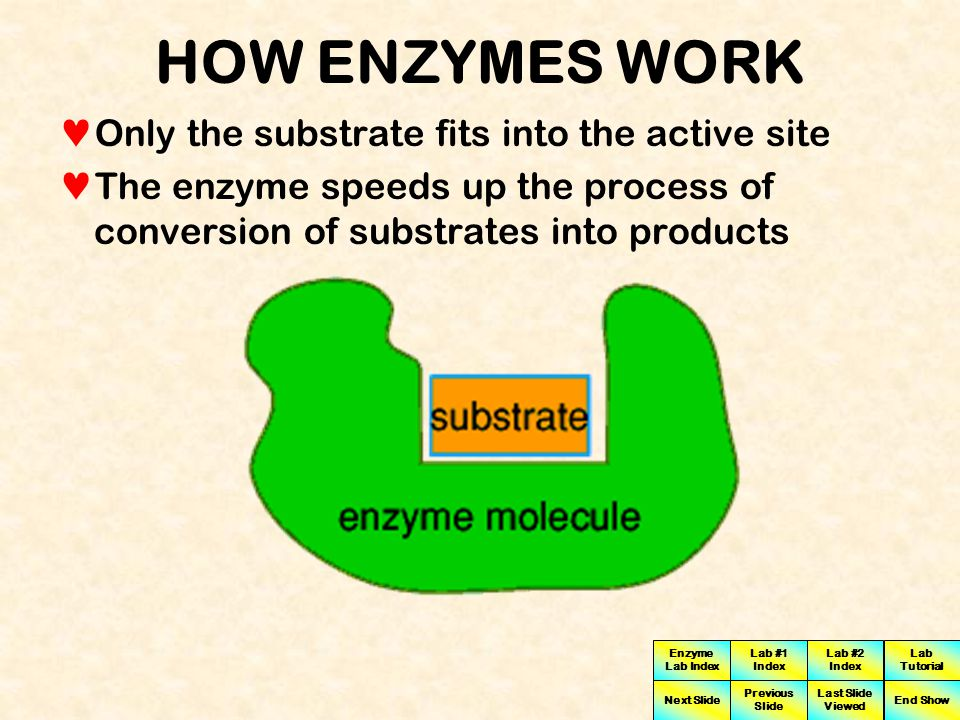 HOW ENZYMES WORK Only the substrate fits into the active site