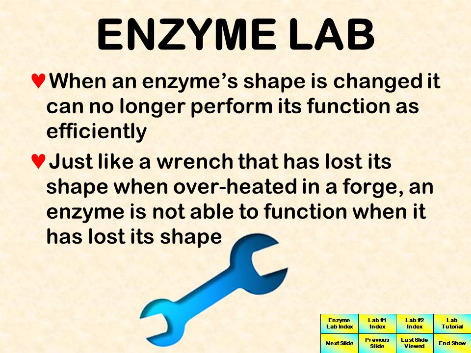 ENZYME LAB When an enzyme's shape is changed it can no longer perform its function as efficiently.