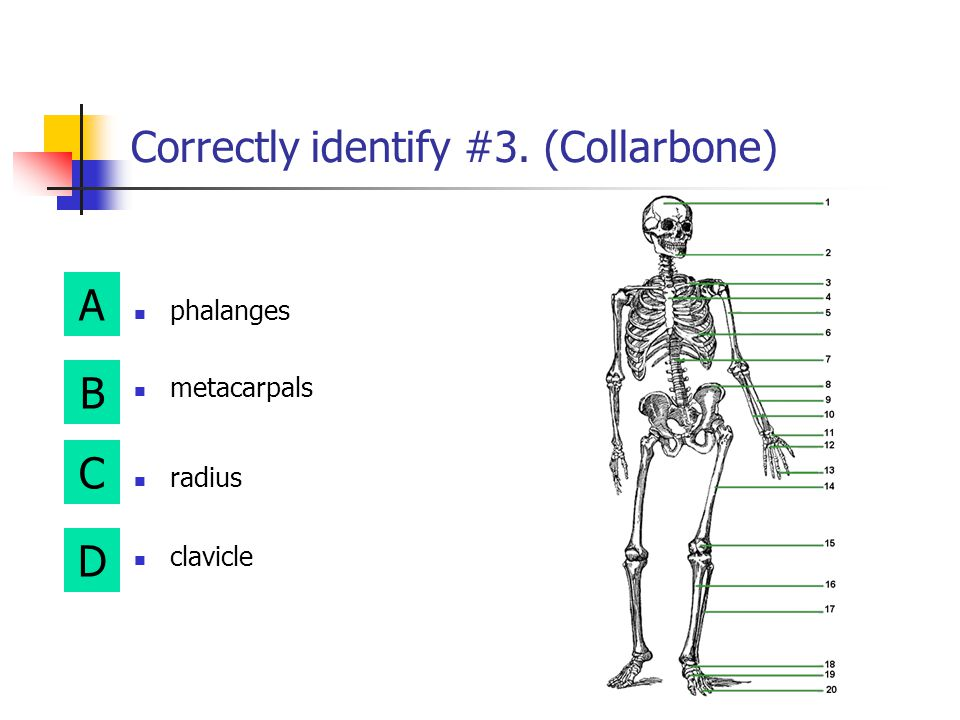 Correctly identify #3. (Collarbone)