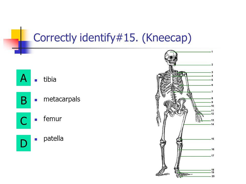 Correctly identify#15. (Kneecap)