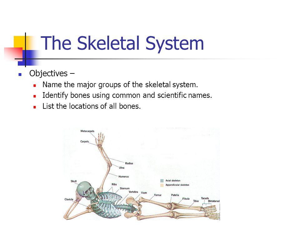The Skeletal System Objectives –