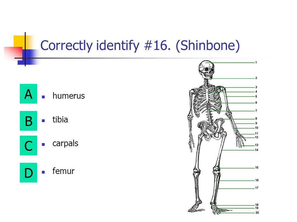 Correctly identify #16. (Shinbone)