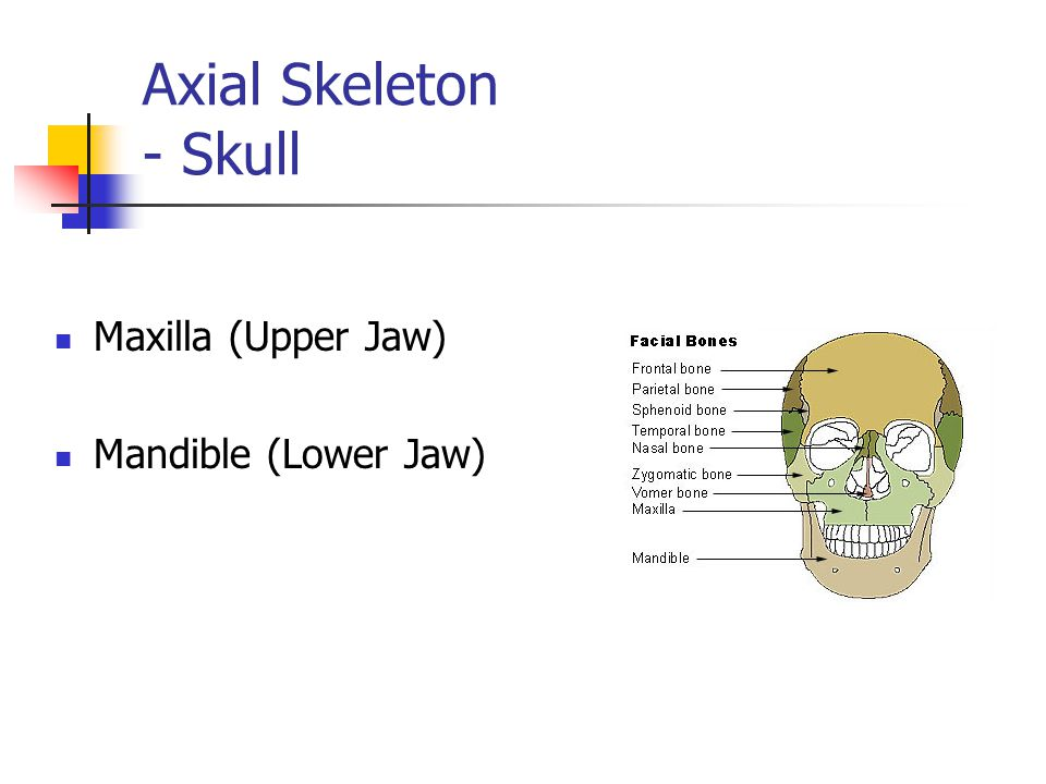 Axial Skeleton - Skull Maxilla (Upper Jaw) Mandible (Lower Jaw)