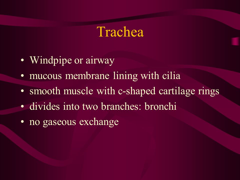 Trachea Windpipe or airway mucous membrane lining with cilia