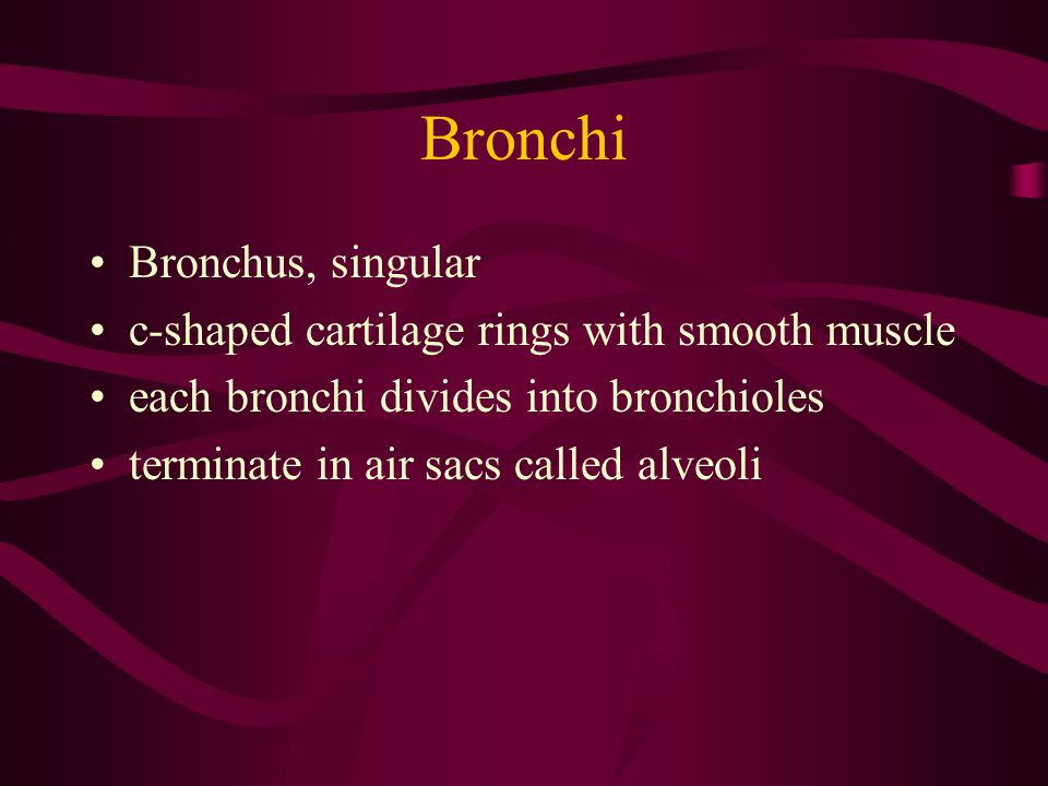 Bronchi Bronchus, singular c-shaped cartilage rings with smooth muscle