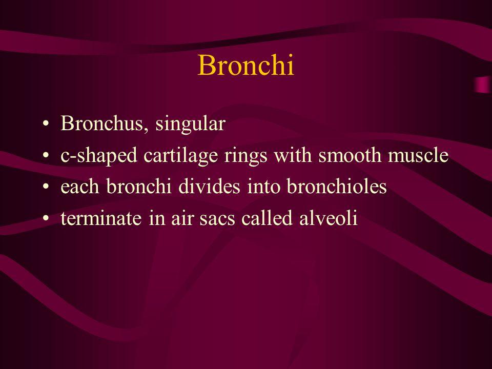 Bronchi Bronchus, singular c-shaped cartilage rings with smooth muscle