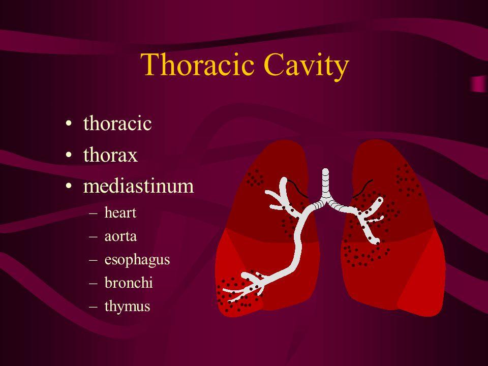 Thoracic Cavity thoracic thorax mediastinum heart aorta esophagus