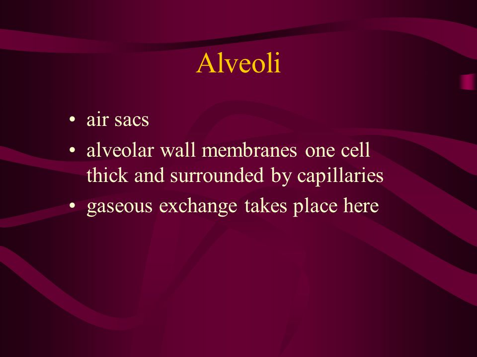 Alveoli air sacs. alveolar wall membranes one cell thick and surrounded by capillaries.