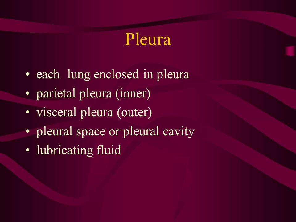 Pleura each lung enclosed in pleura parietal pleura (inner)
