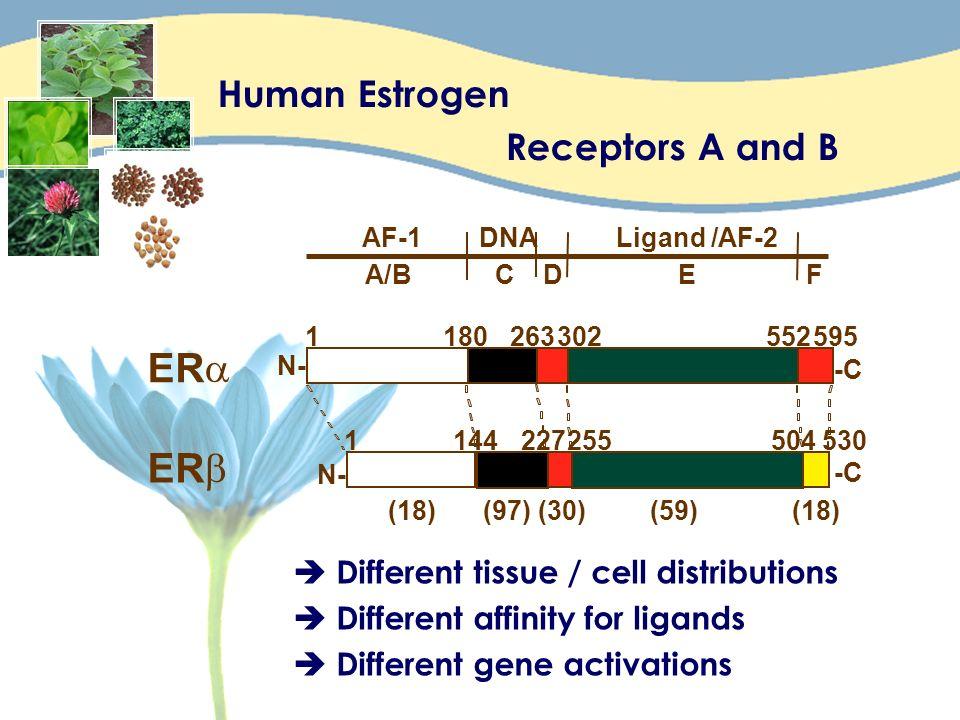 E R a E R b Human Estrogen Receptors A and B