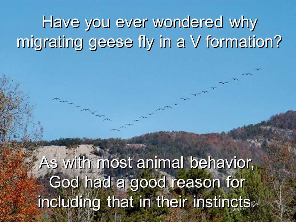 Have you ever wondered why migrating geese fly in a V formation