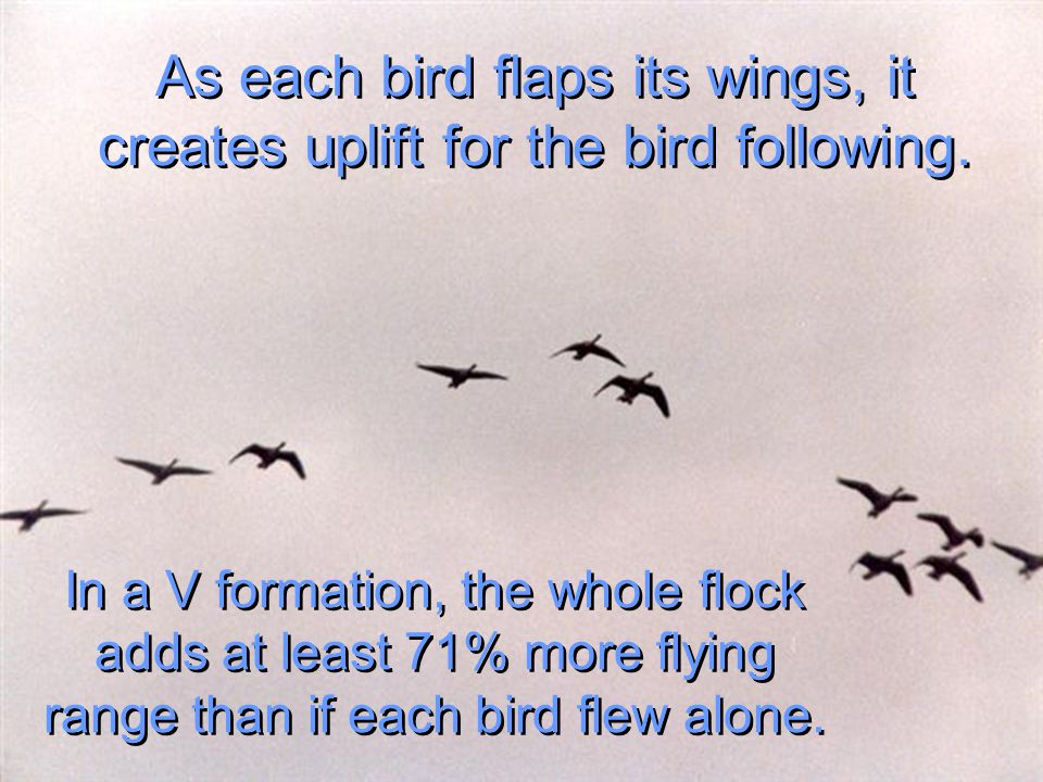As each bird flaps its wings, it creates uplift for the bird following.