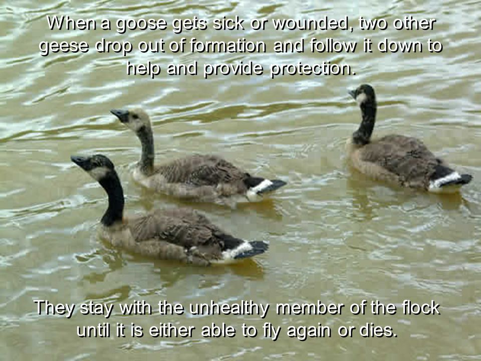 When a goose gets sick or wounded, two other geese drop out of formation and follow it down to help and provide protection.