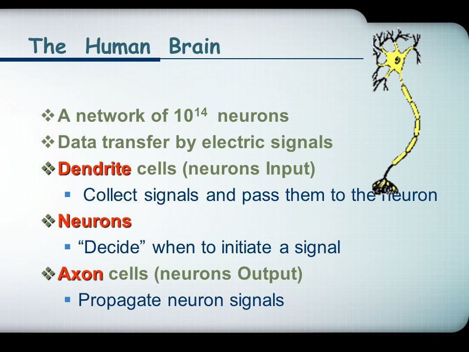 The Human Brain A network of 1014 neurons