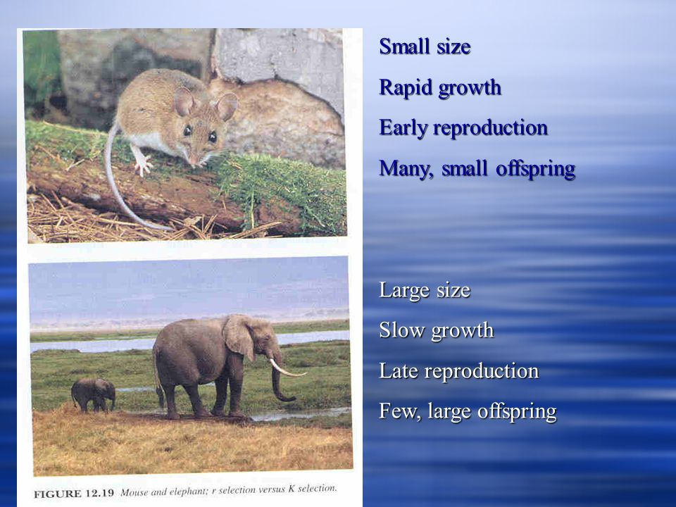 Small size Rapid growth. Early reproduction. Many, small offspring. Large size. Slow growth. Late reproduction.