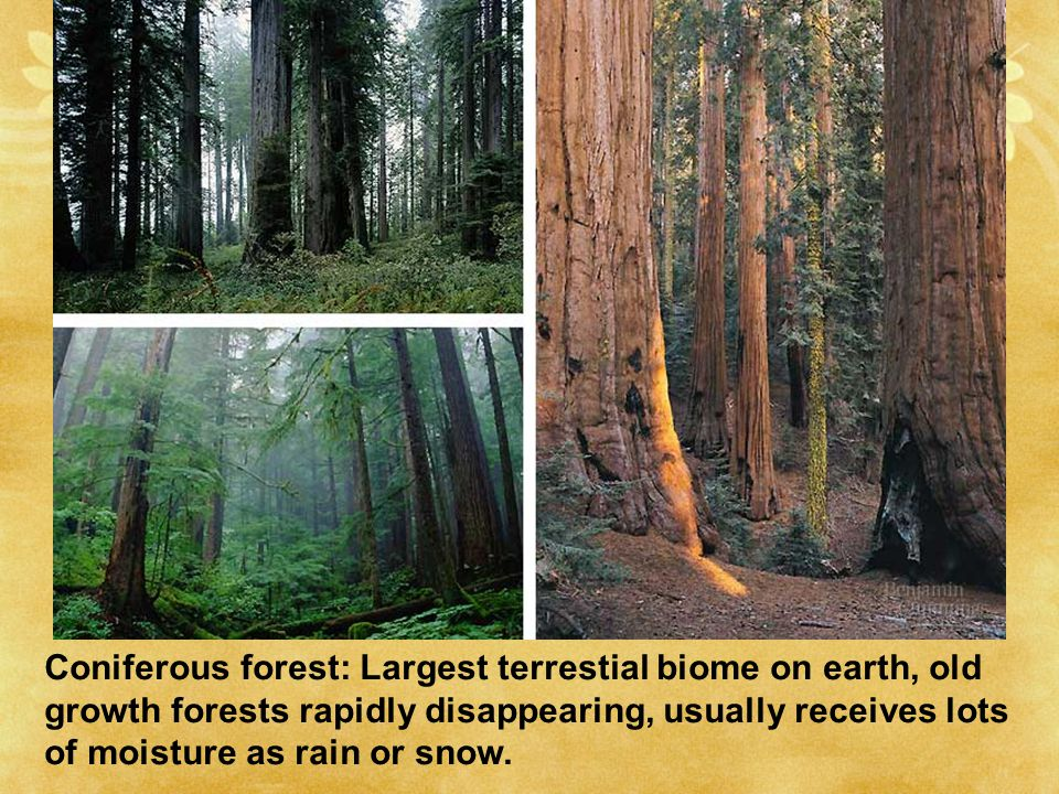 Coniferous forest: Largest terrestial biome on earth, old growth forests rapidly disappearing, usually receives lots of moisture as rain or snow.