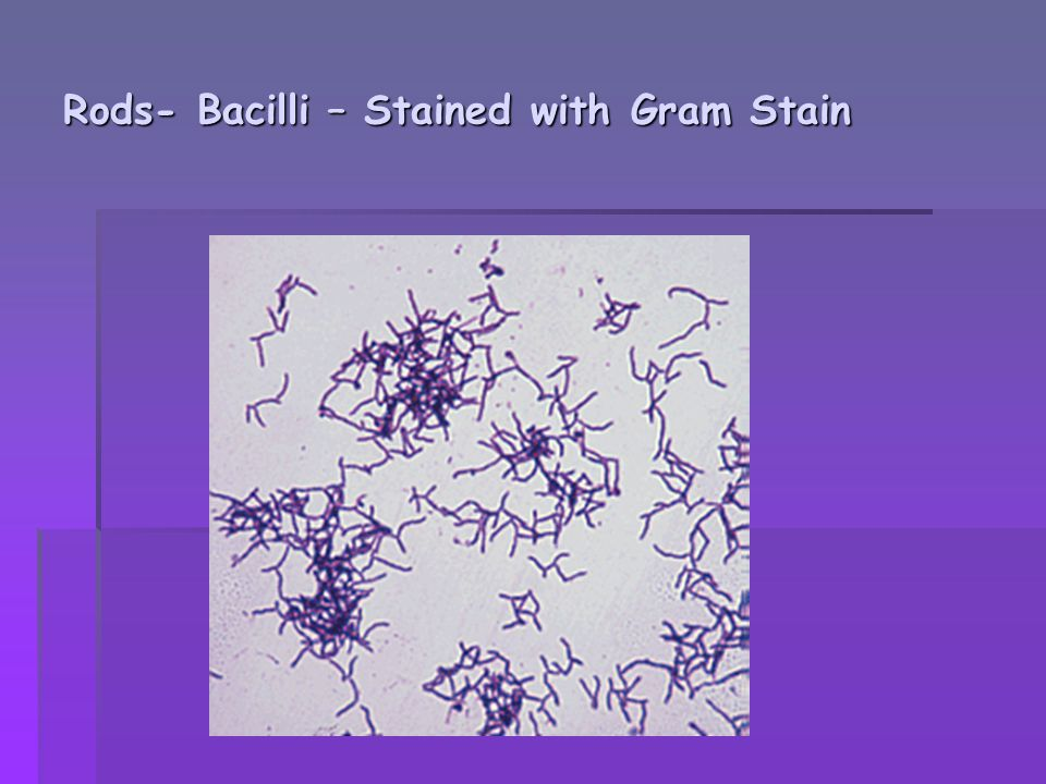 Rods- Bacilli – Stained with Gram Stain