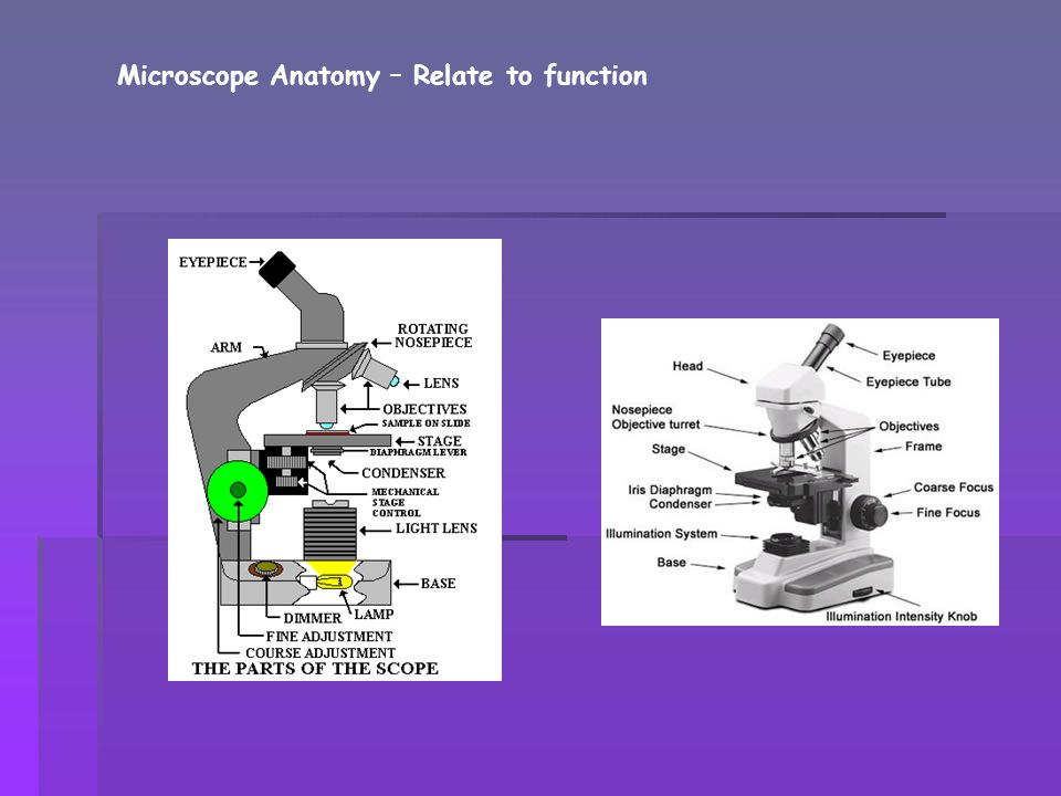 Microscope Anatomy – Relate to function
