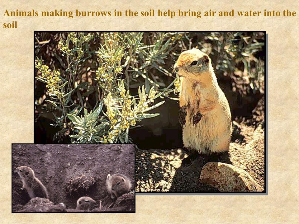 Animals making burrows in the soil help bring air and water into the soil