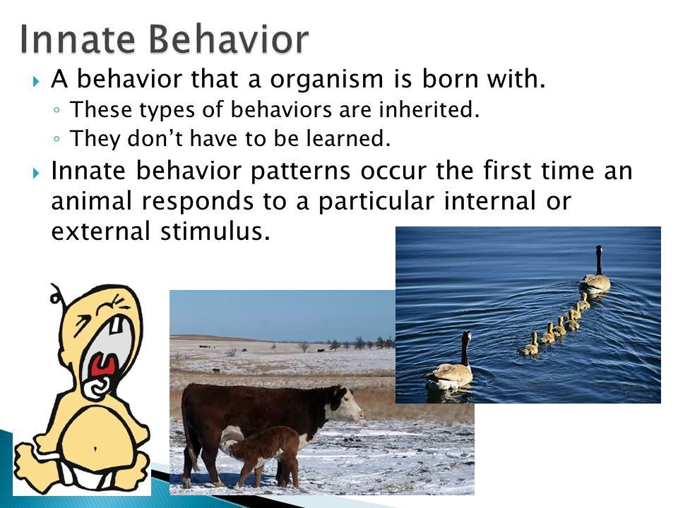 Innate Behavior A behavior that a organism is born with.