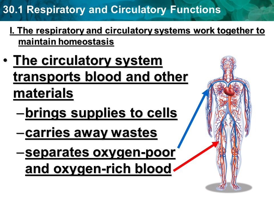 The circulatory system transports blood and other materials
