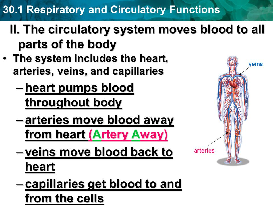 II. The circulatory system moves blood to all parts of the body