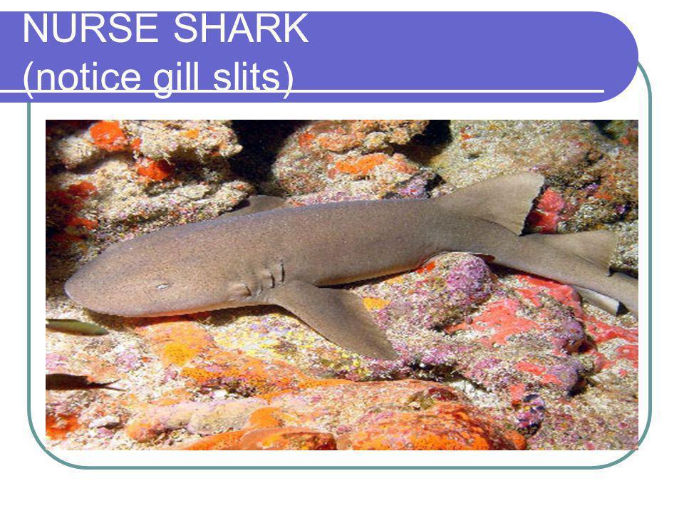 NURSE SHARK (notice gill slits)
