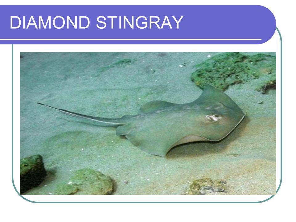 DIAMOND STINGRAY