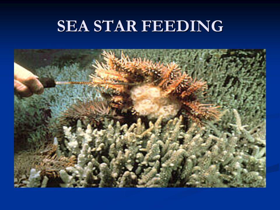 SEA STAR FEEDING