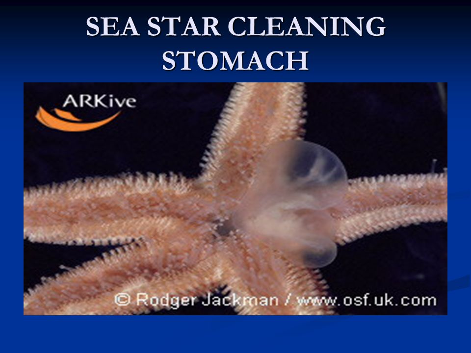 SEA STAR CLEANING STOMACH