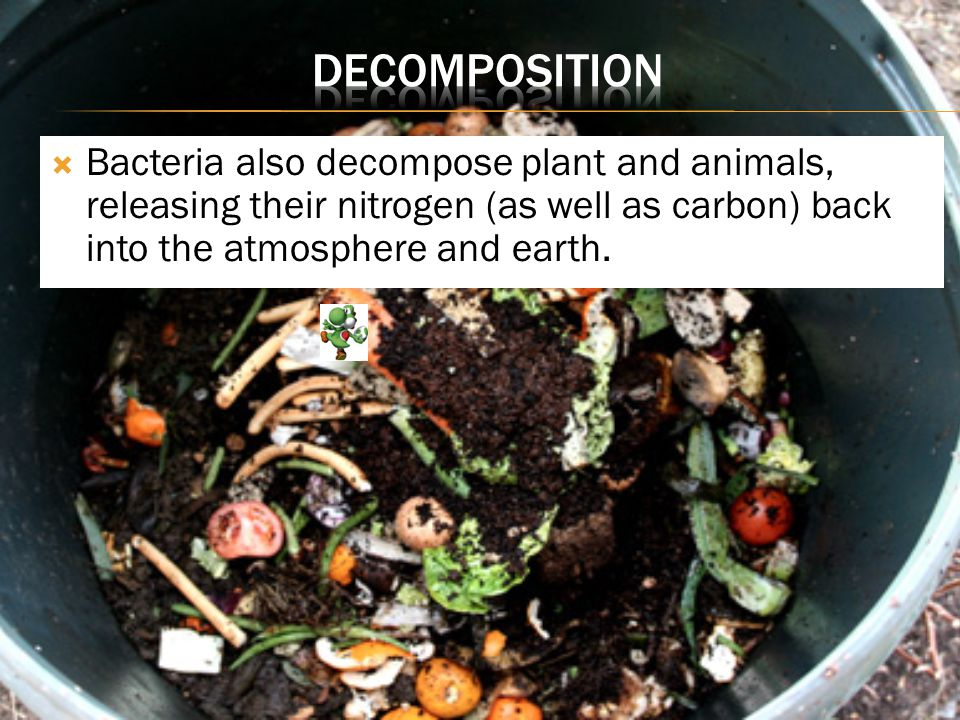 Decomposition Bacteria also decompose plant and animals, releasing their nitrogen (as well as carbon) back into the atmosphere and earth.