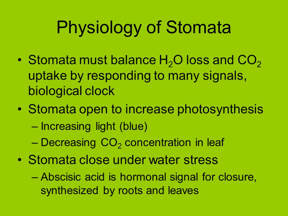 Physiology of Stomata Stomata must balance H2O loss and CO2 uptake by responding to many signals, biological clock.