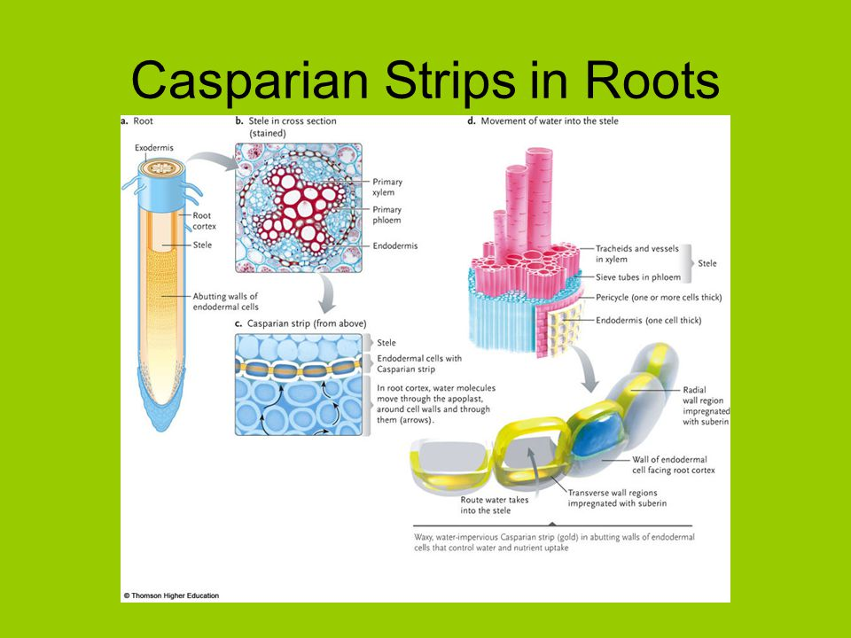 Casparian Strips in Roots