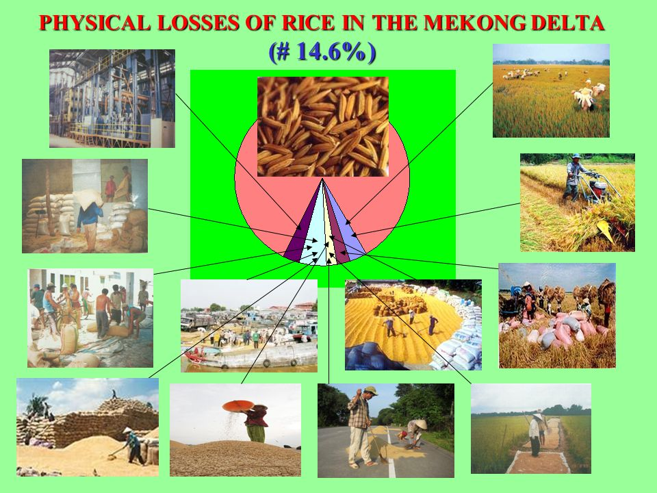 PHYSICAL LOSSES OF RICE IN THE MEKONG DELTA (# 14.6%)