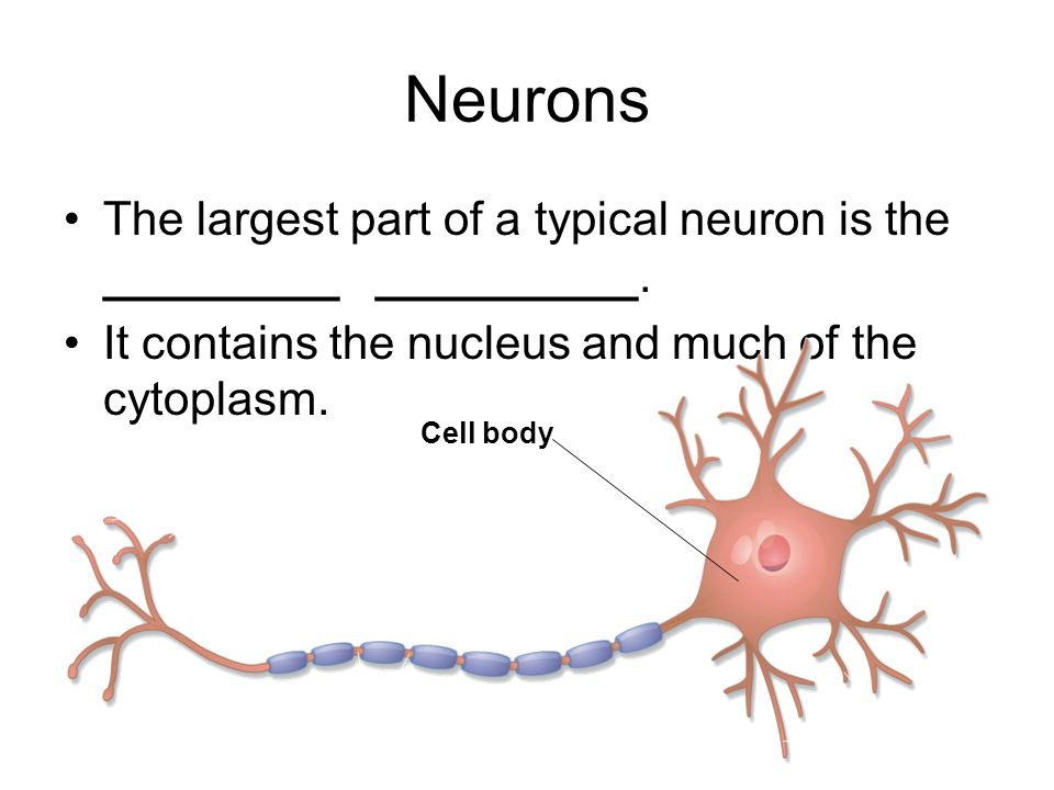 Neurons The largest part of a typical neuron is the _________ __________. It contains the nucleus and much of the cytoplasm.