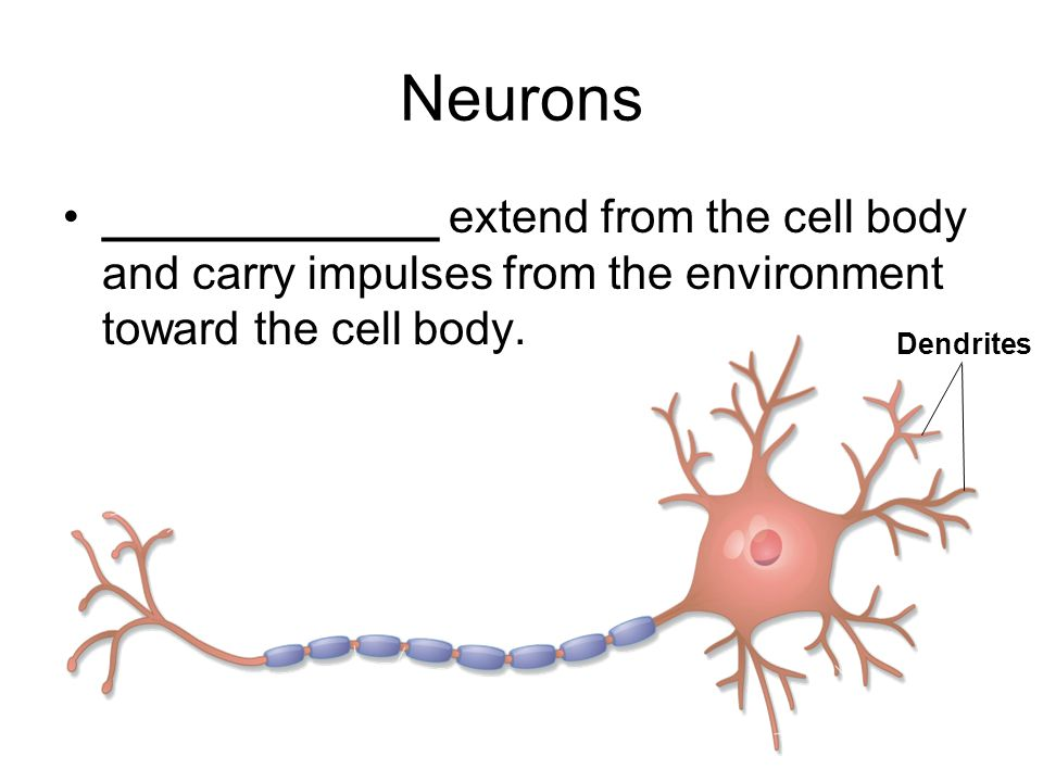 Neurons _____________ extend from the cell body and carry impulses from the environment toward the cell body.