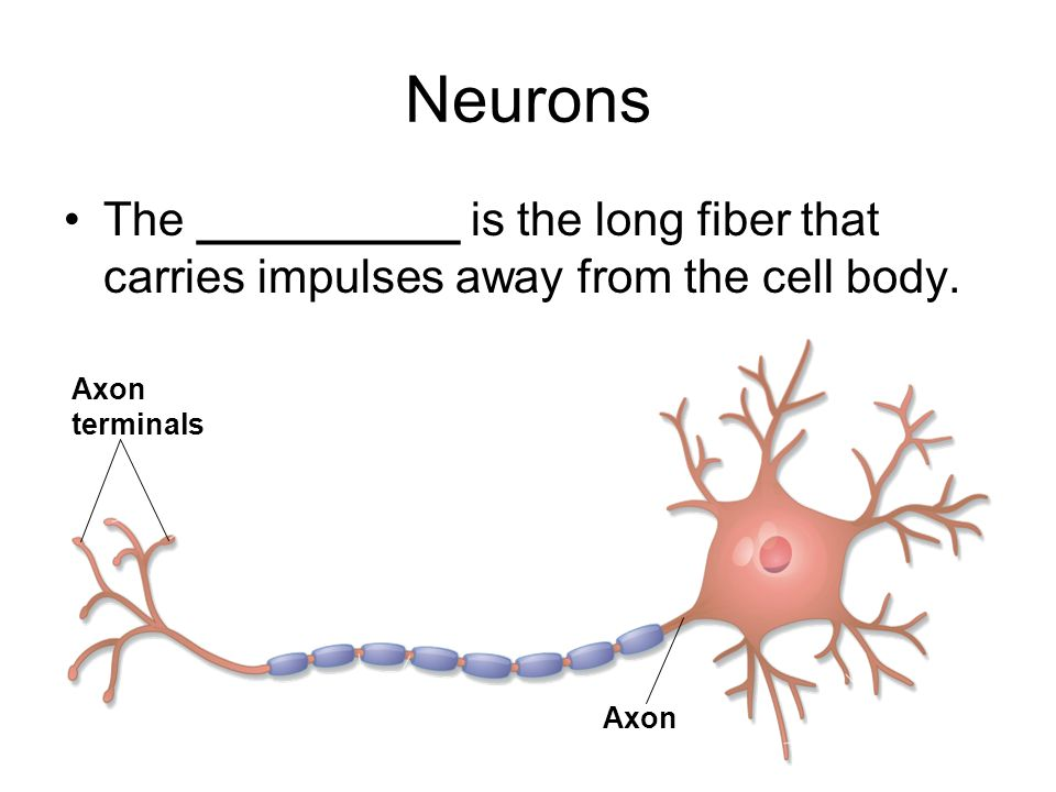 Neurons The __________ is the long fiber that carries impulses away from the cell body. Axon terminals.