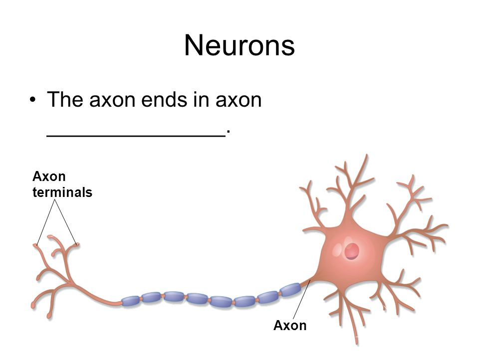 Neurons The axon ends in axon _______________. Axon terminals Axon