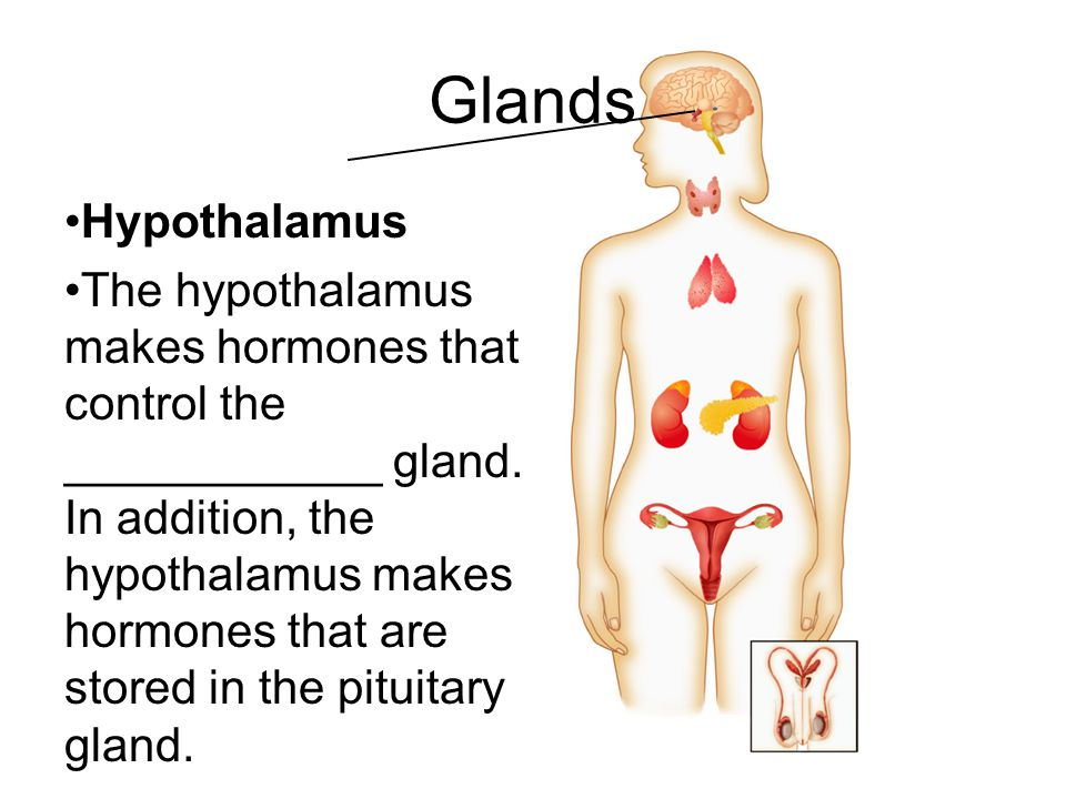 Glands Hypothalamus.