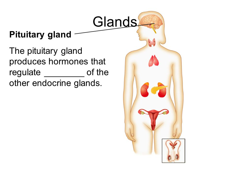 Glands Pituitary gland