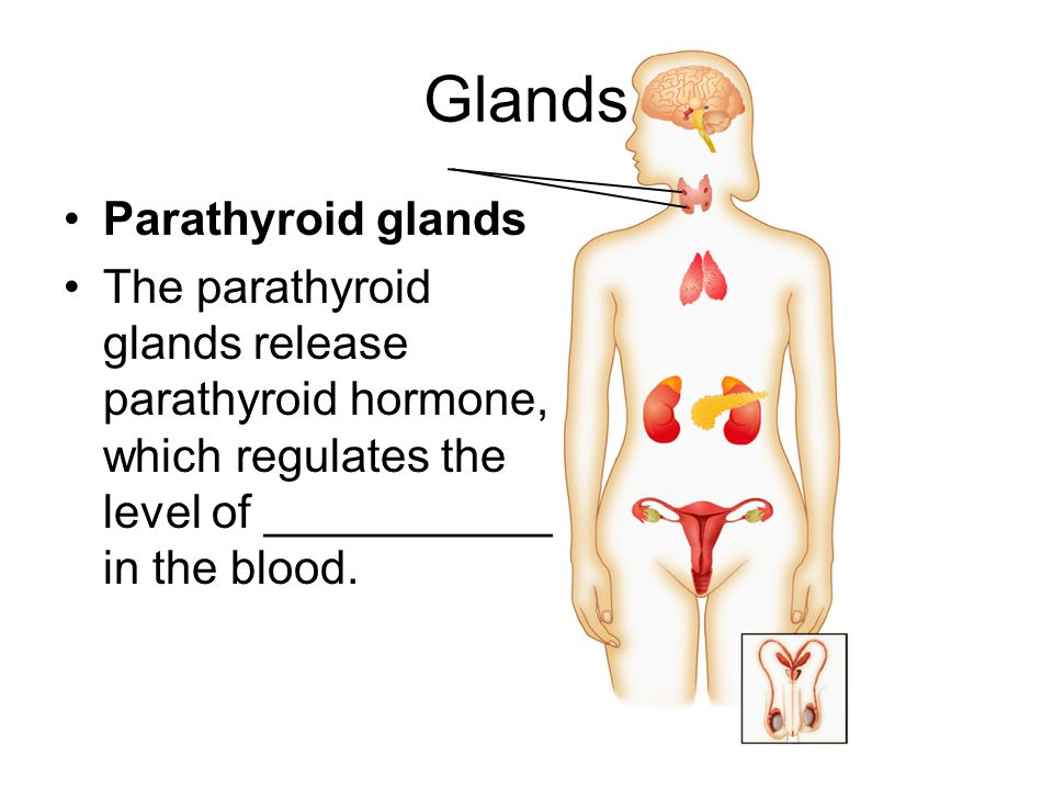 Glands Parathyroid glands