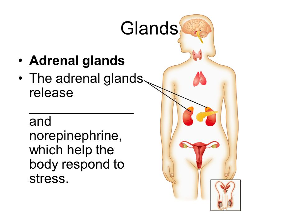 Glands Adrenal glands. The adrenal glands release ______________ and norepinephrine, which help the body respond to stress.
