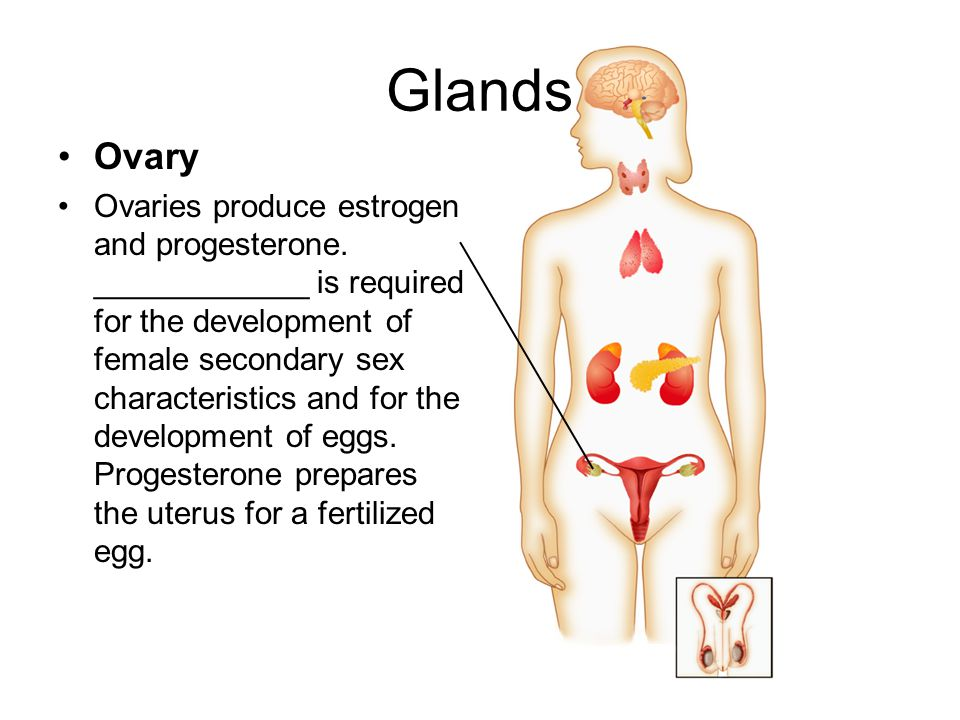 Glands Ovary.