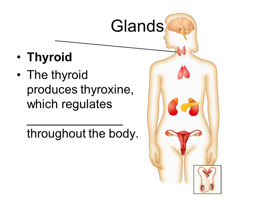Glands Thyroid. The thyroid produces thyroxine, which regulates ______________ throughout the body.