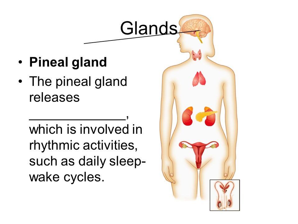 Glands Pineal gland. The pineal gland releases _____________, which is involved in rhythmic activities, such as daily sleep-wake cycles.
